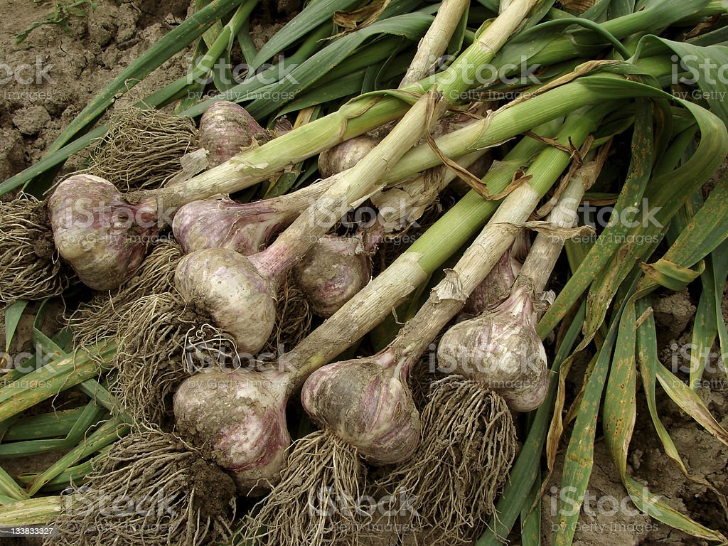 Garlic plants with dirt in the ground stock photo