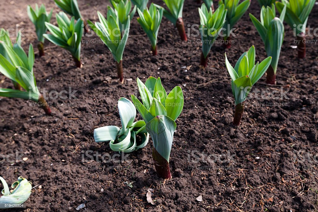 garlic sprouts in the soil stock photo