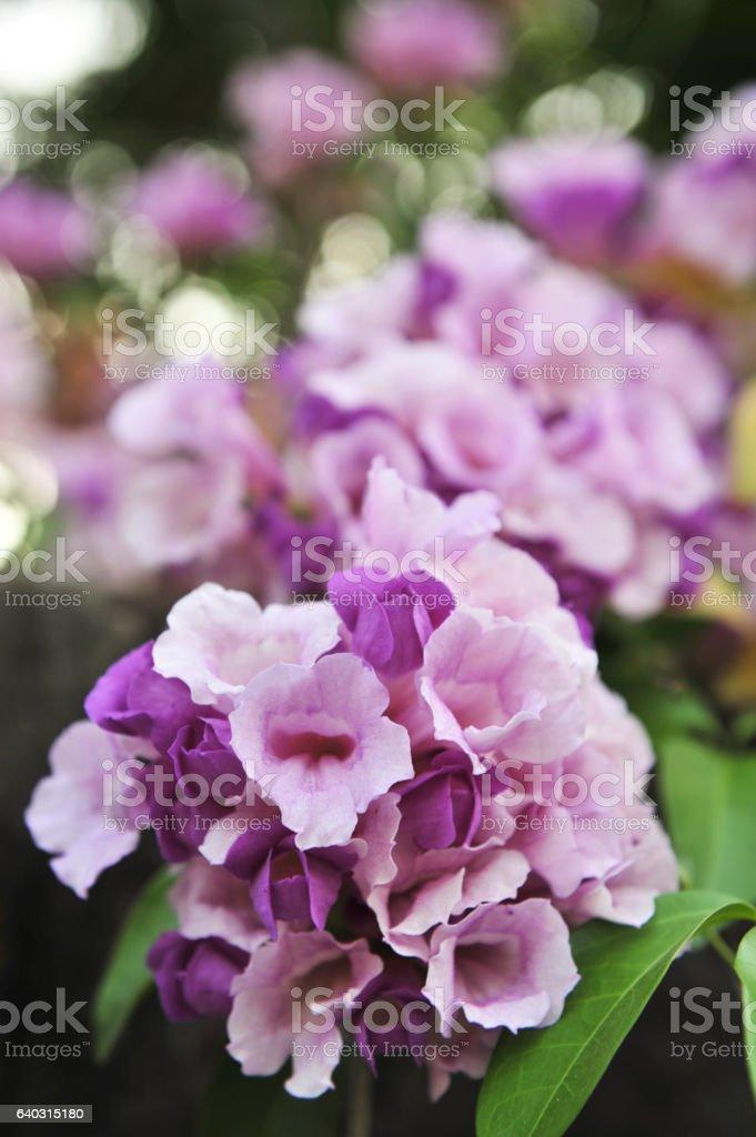 Garlic vine violet flower selective focus point stock photo