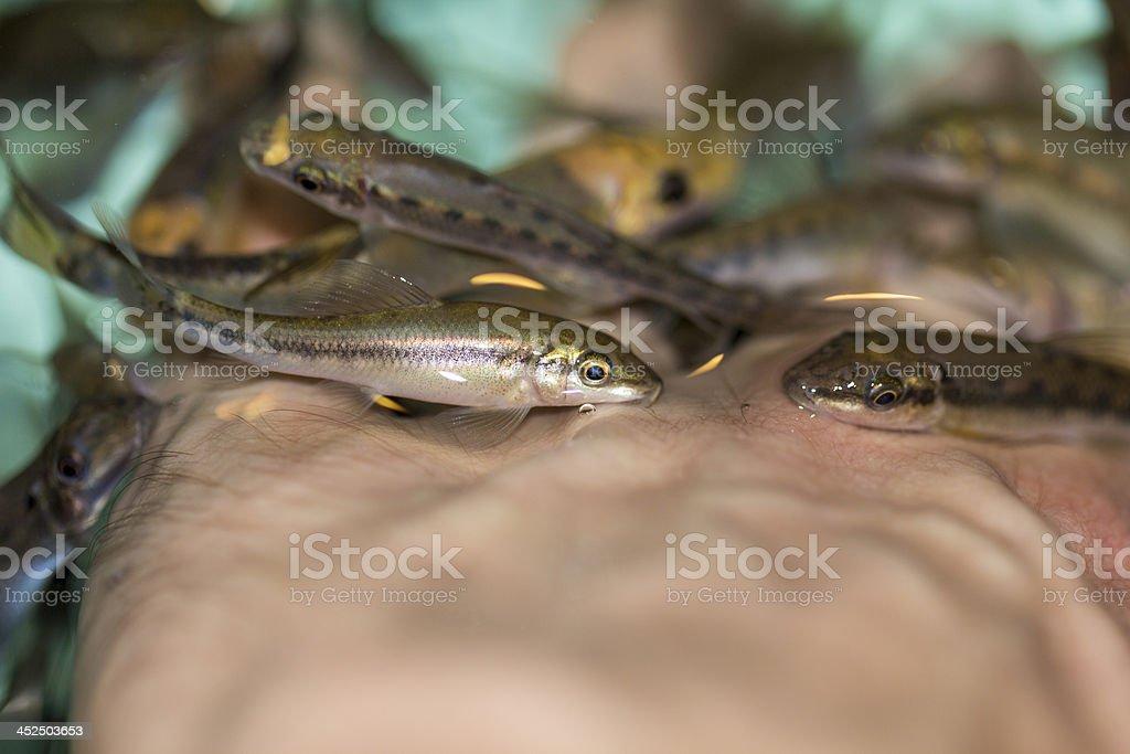 Garra Rufa, or Doctor Fish stock photo