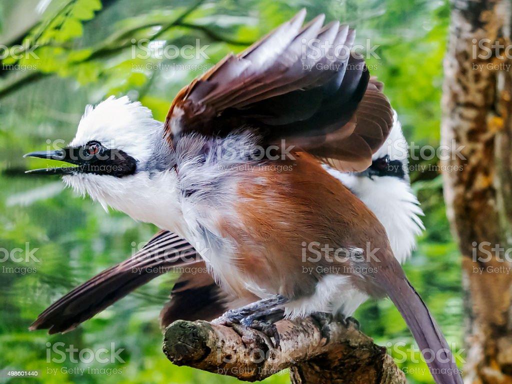 Garrulax Leucolophus stock photo