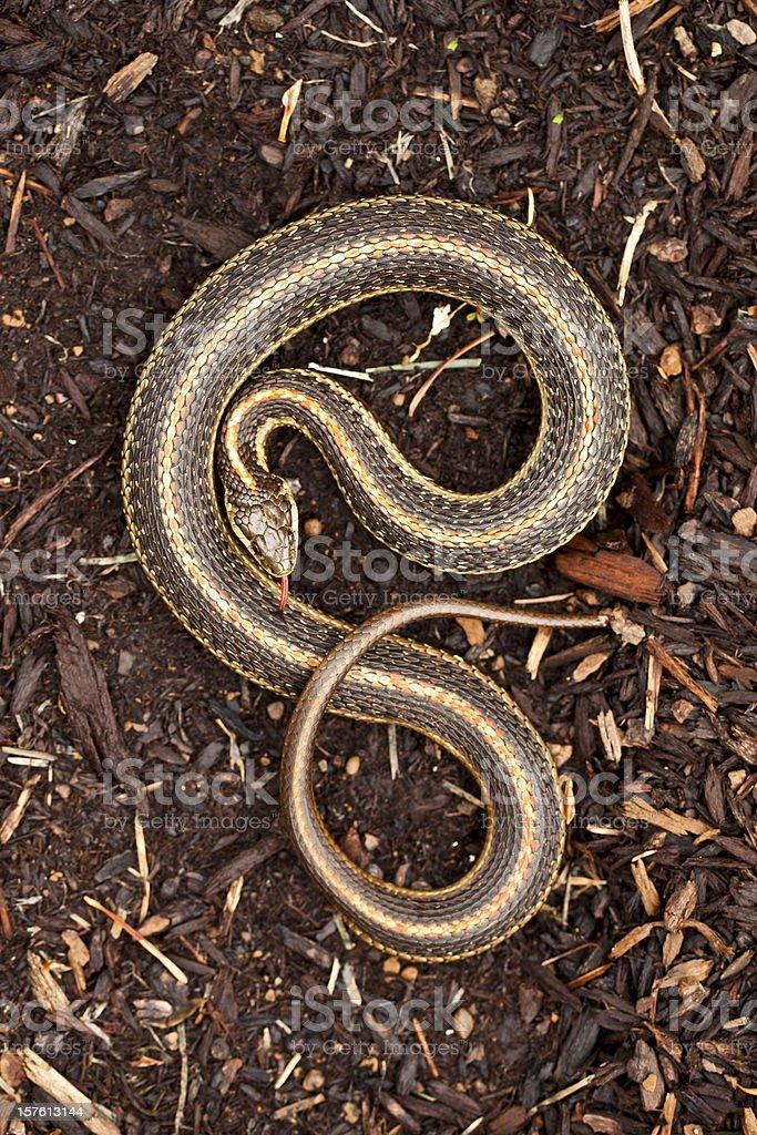 Garter Snake in