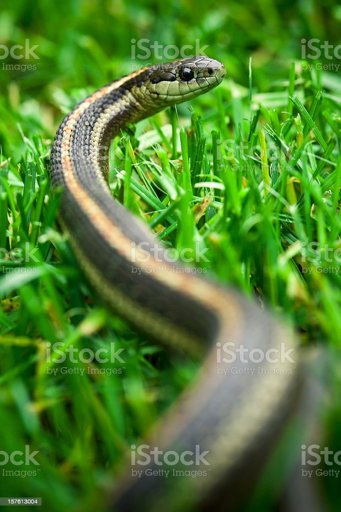Garter Snake stock photo