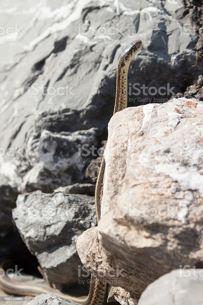 Garter Snake Standing Tall stock photo