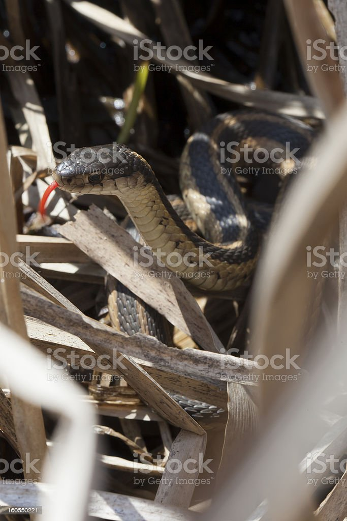 Garter snake sticks out tongue in sunny cattail filled marsh royalty-free stock photo