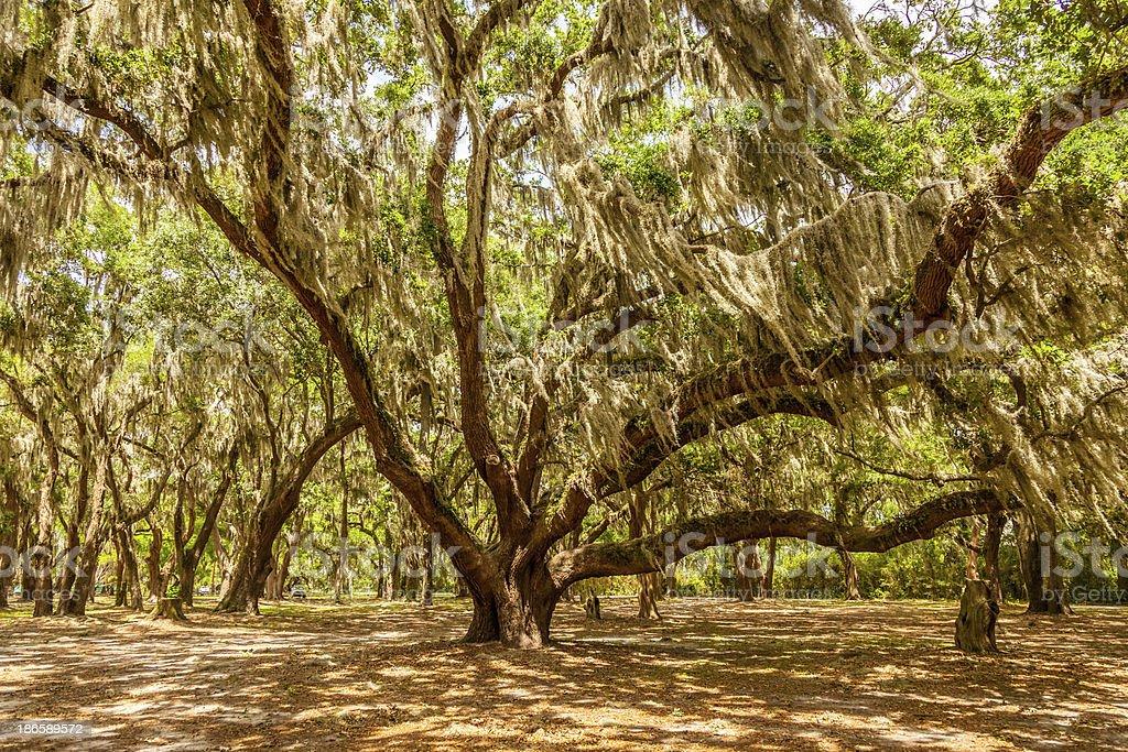 Gascoigne Oaks stock photo