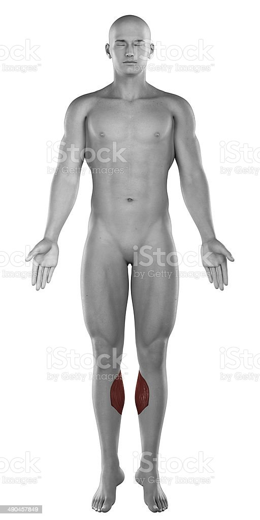 Gastrocnemius male muscles anatomy anterior view isolated stock photo
