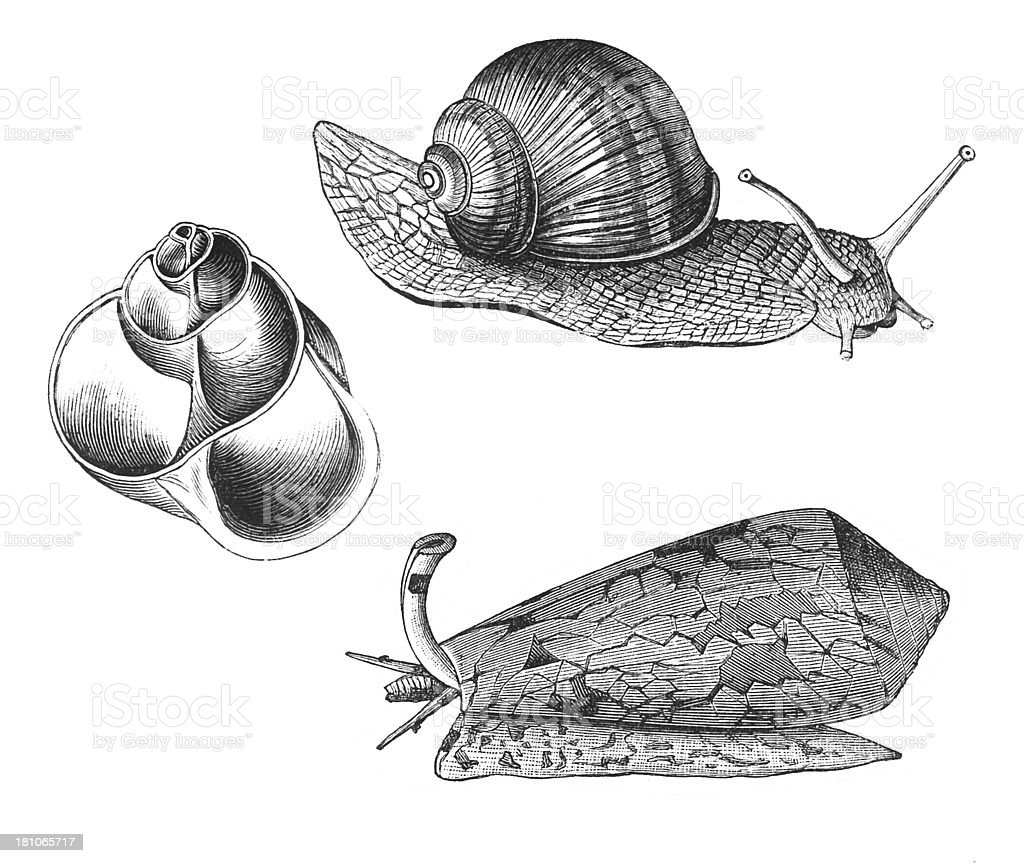 gastropods stock photo