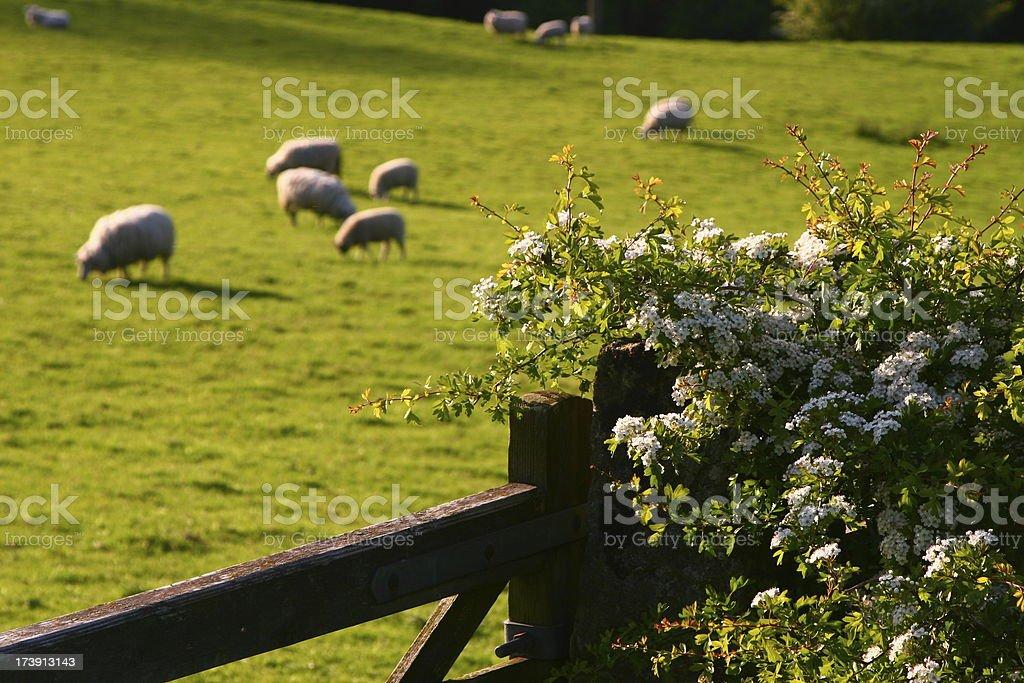 Gate, Flowering Hawthorn, Sheep, Peak District, Castleton royalty-free stock photo