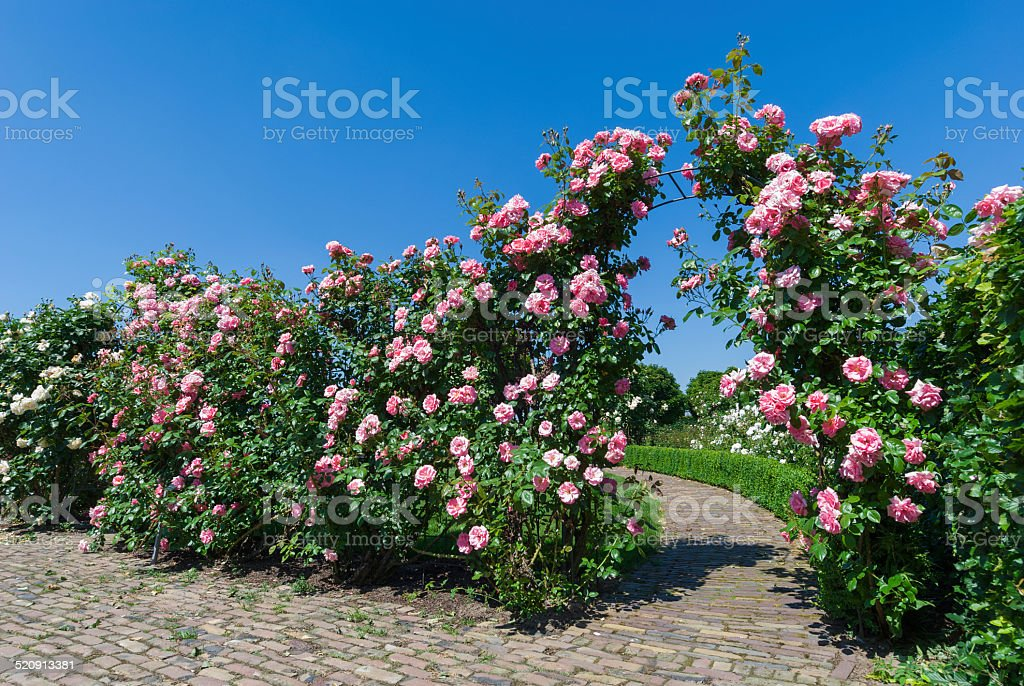 Gate of Pink Roses stock photo