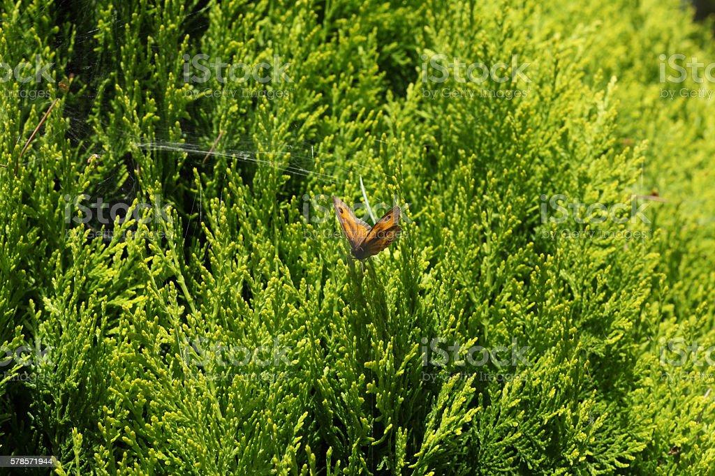 Gatekeeper butterfly stock photo