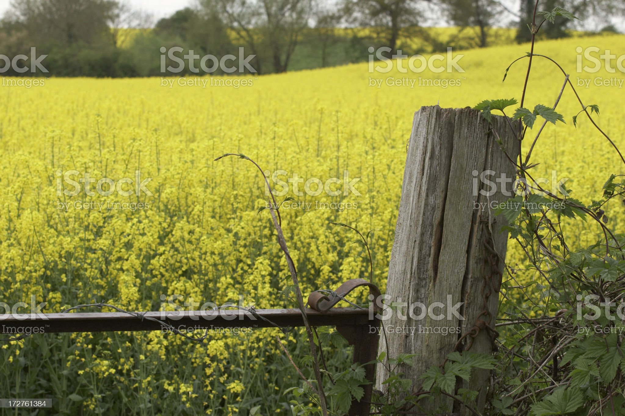 Gatepost in canola field royalty-free stock photo