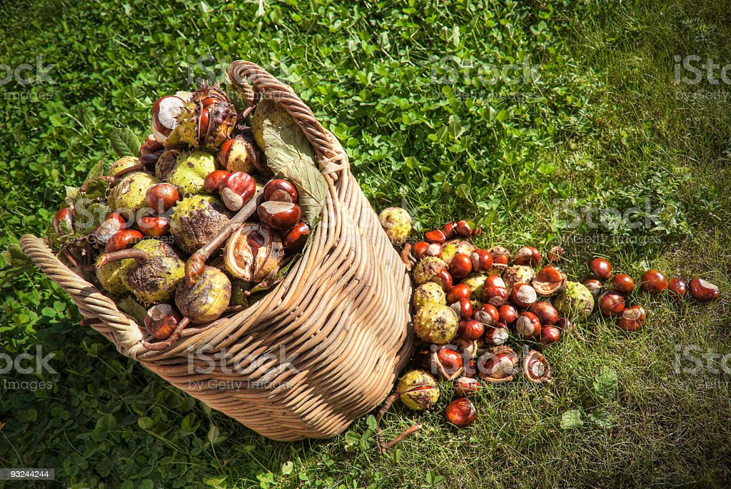 Gathered autumn conkers stock photo