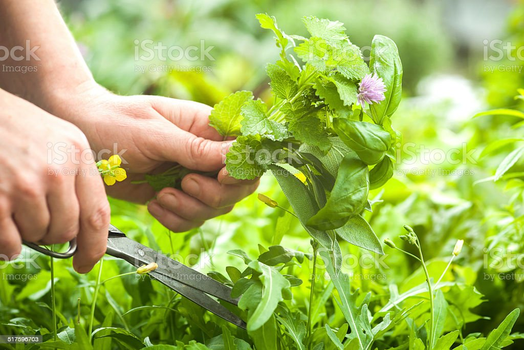 Gathering fresh herbs in the garden stock photo