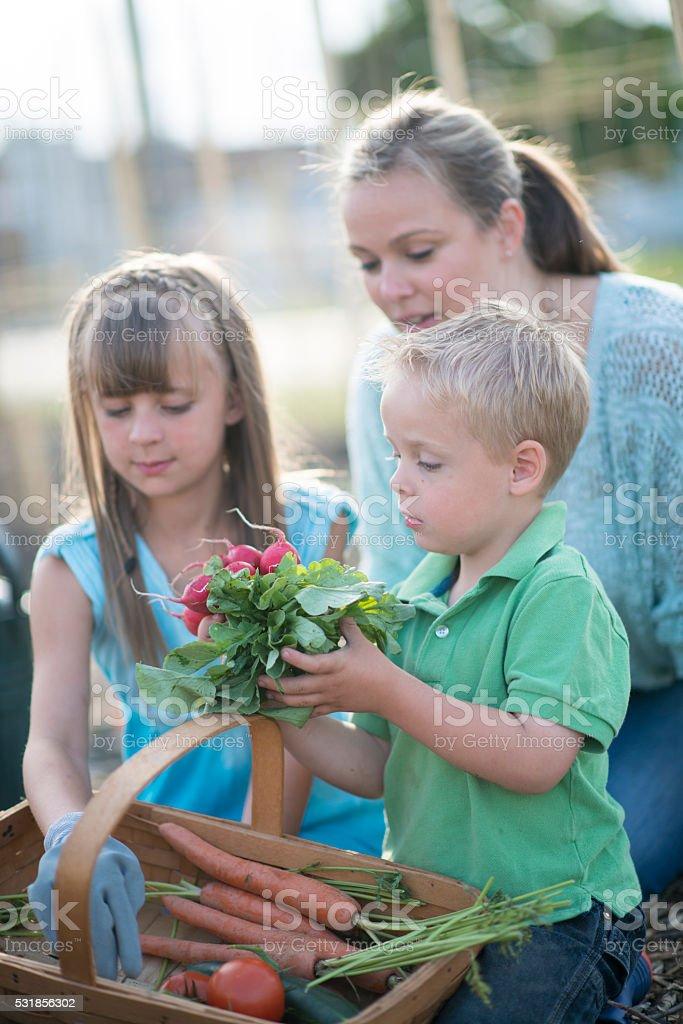 Gathering Garden Vegetables stock photo
