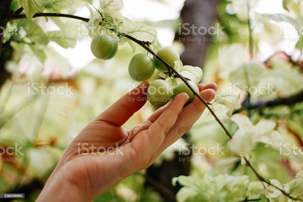 Gathering green plums stock photo