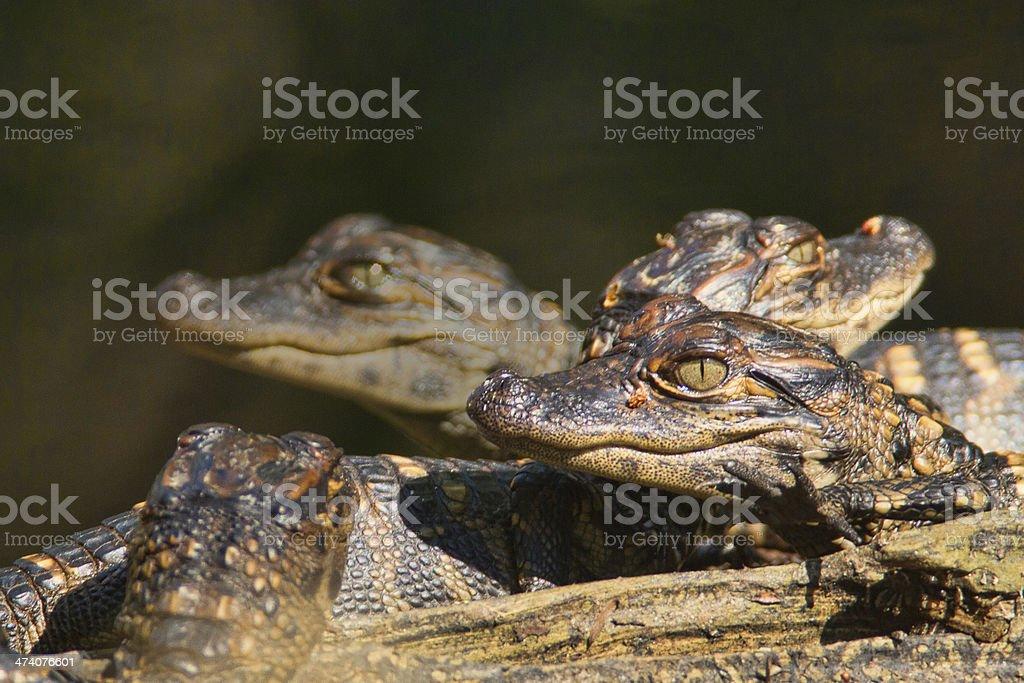 Gator babies stock photo