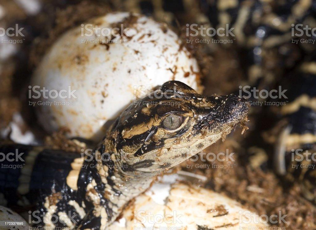 Gator hatchling stock photo