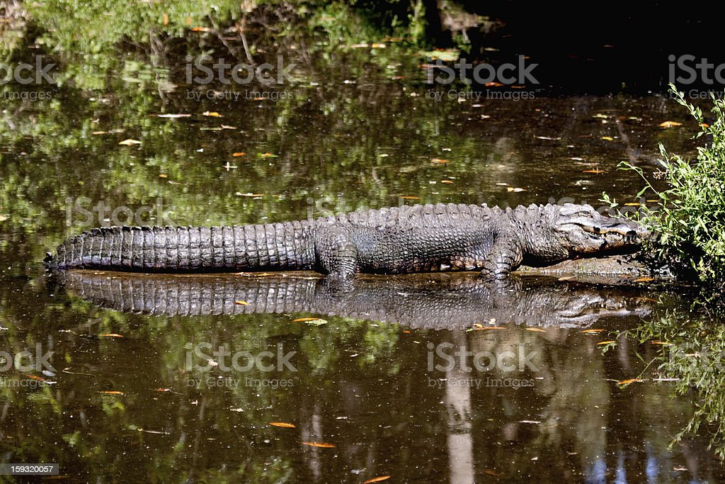 Gator warming royalty-free stock photo