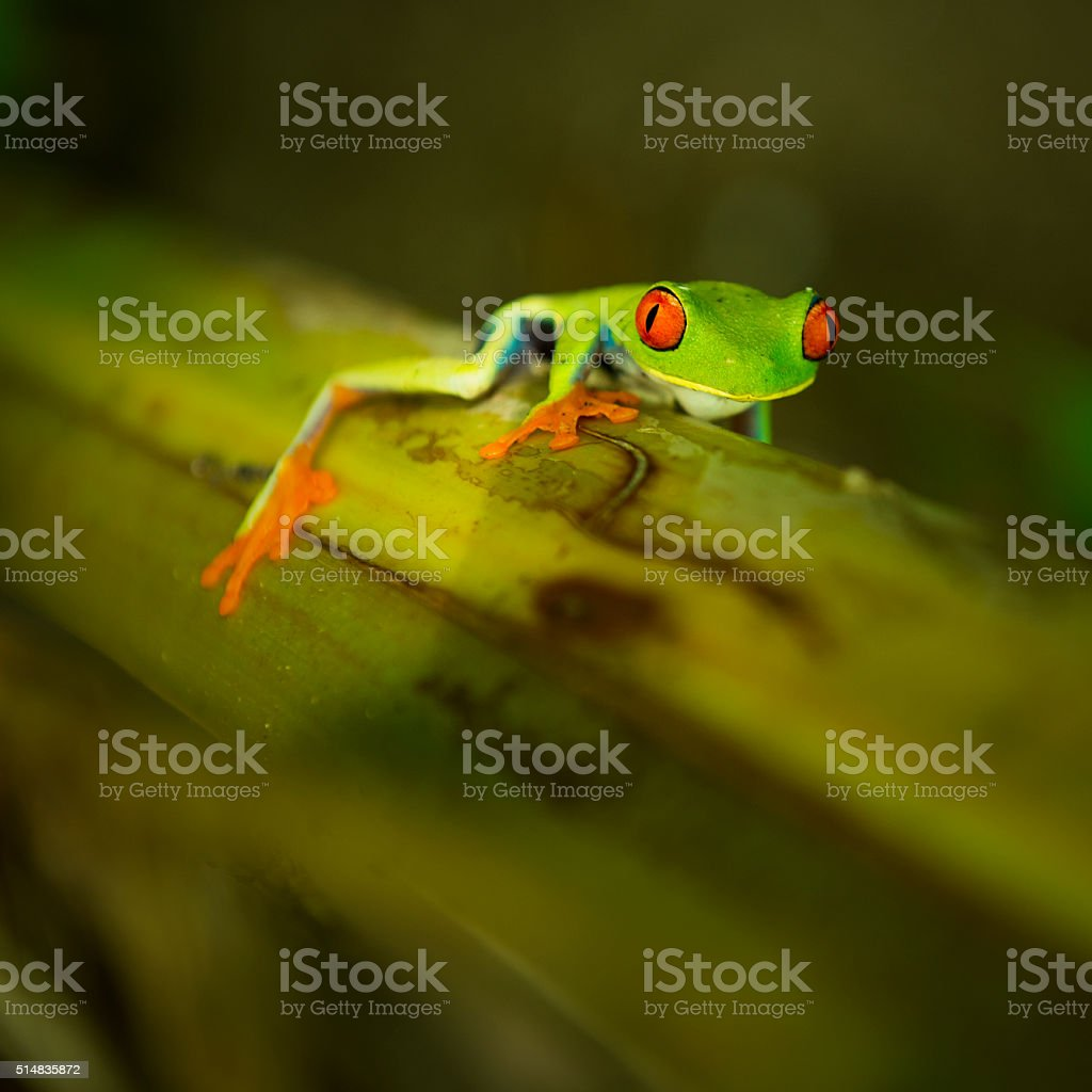 Gaudy Leaf Frog stock photo