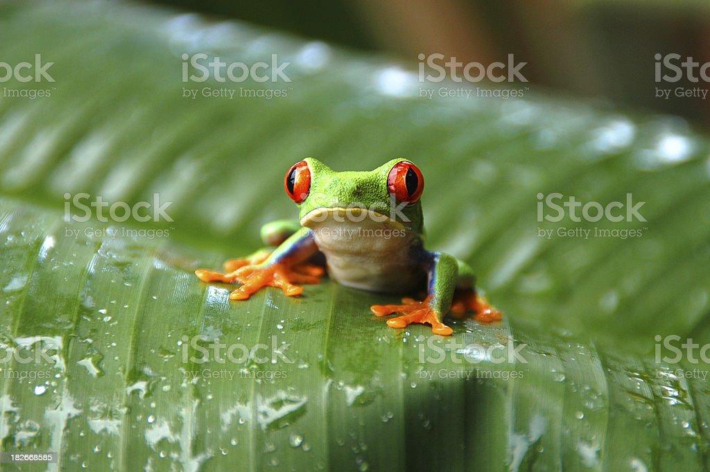 Gaudy Leaf Tree Frog #002 stock photo