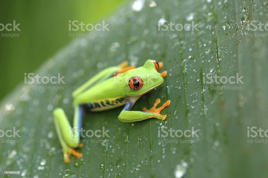 Gaudy Leaf Tree Frog #001 stock photo
