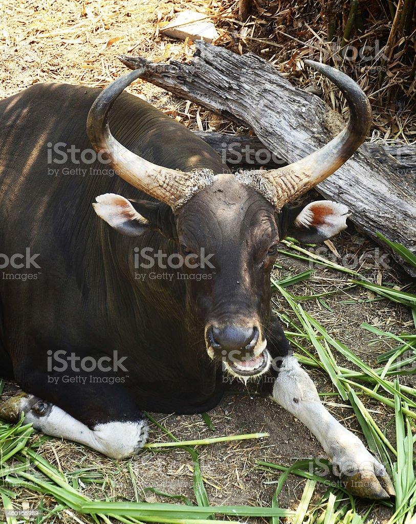 Gaur and Banteng in rainforest stock photo