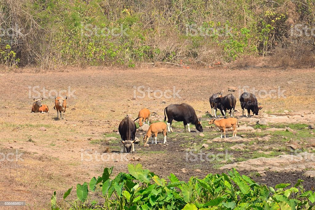Gaur and Banteng in saltlick, Thailand stock photo