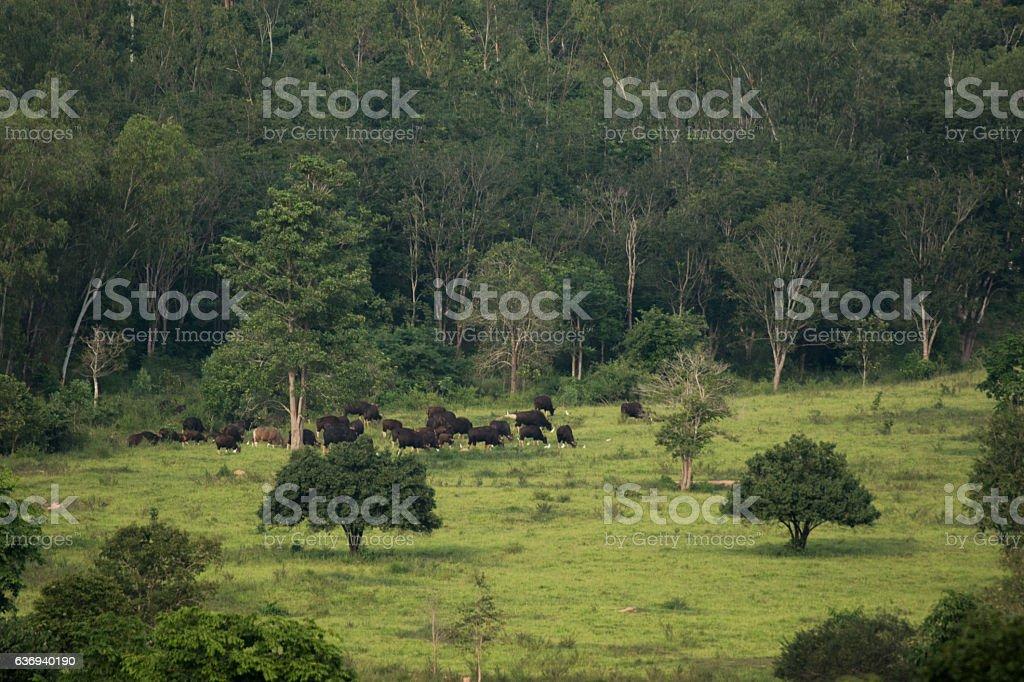 Gaur (Bos gaurus) and Banteng (Bos javanicus) stock photo