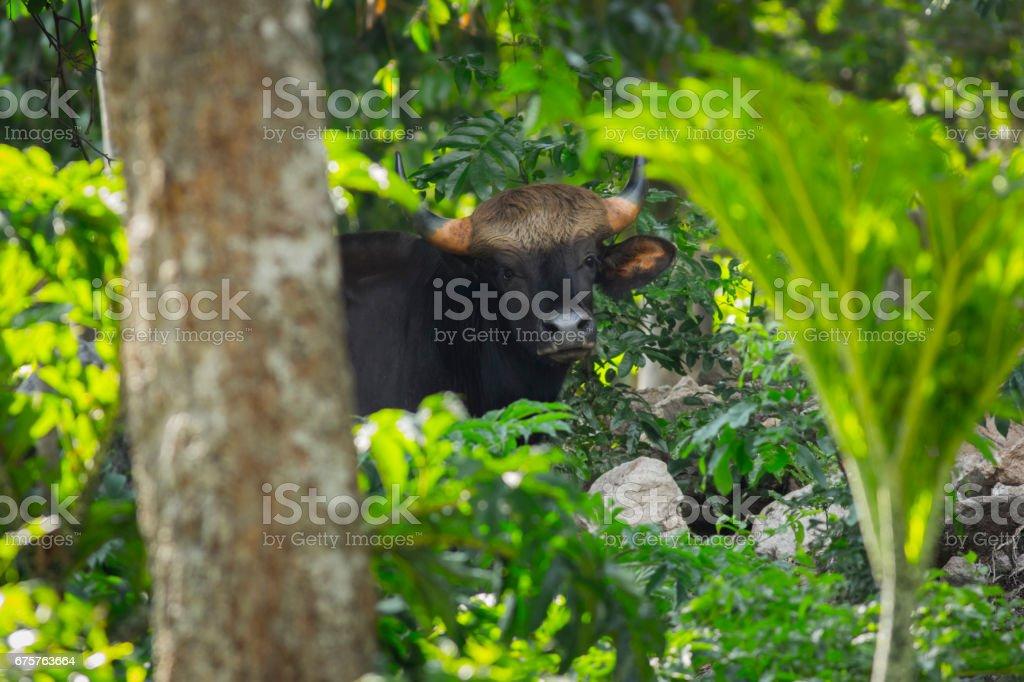 gaur behide tree stock photo