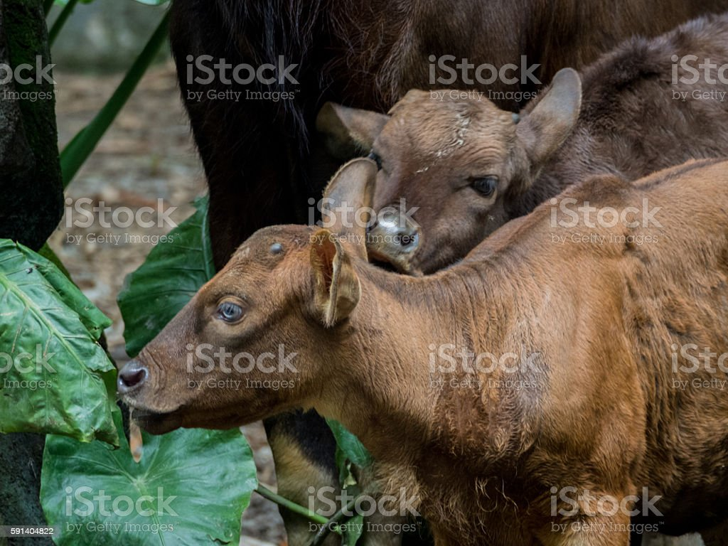 Gaur calfs stock photo
