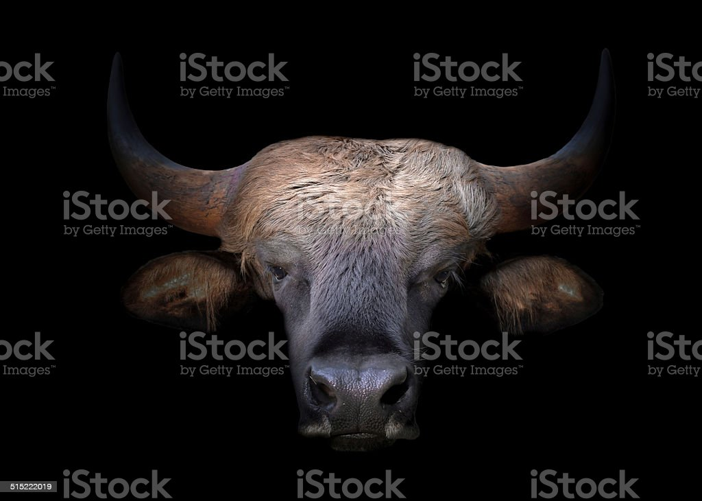 gaur head in the dark stock photo