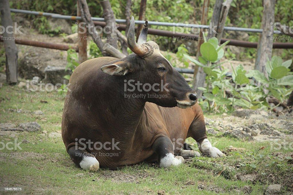 Gaur stock photo