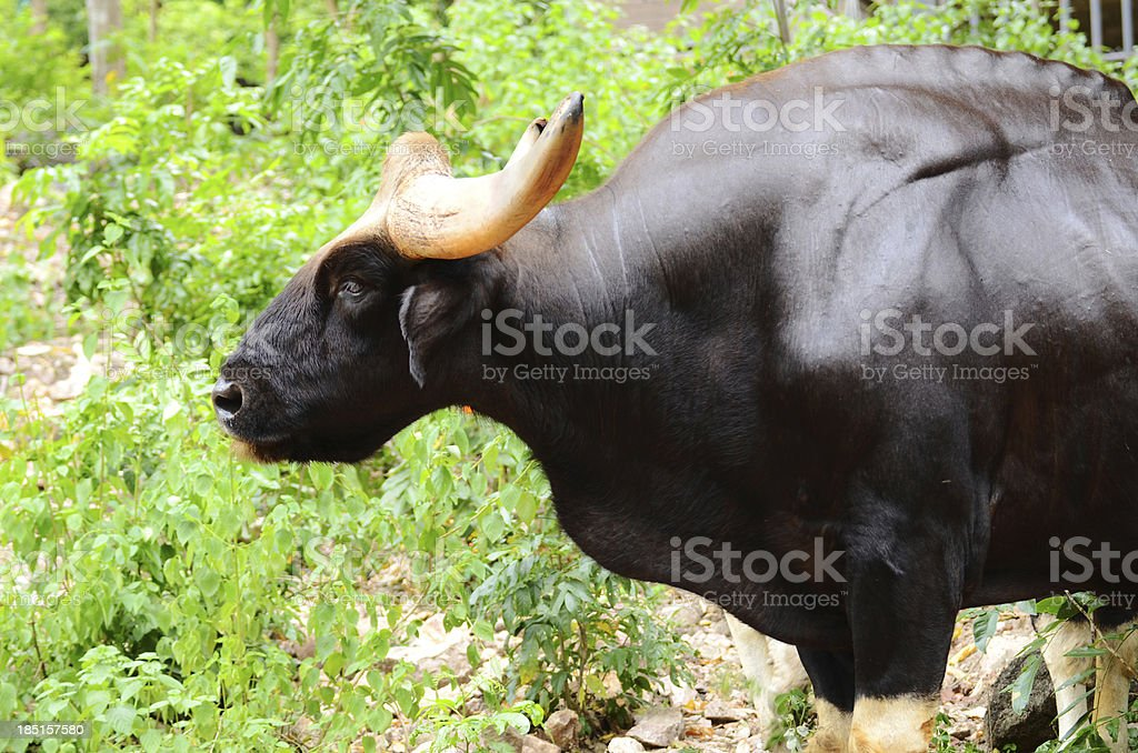 Gaur royalty-free stock photo