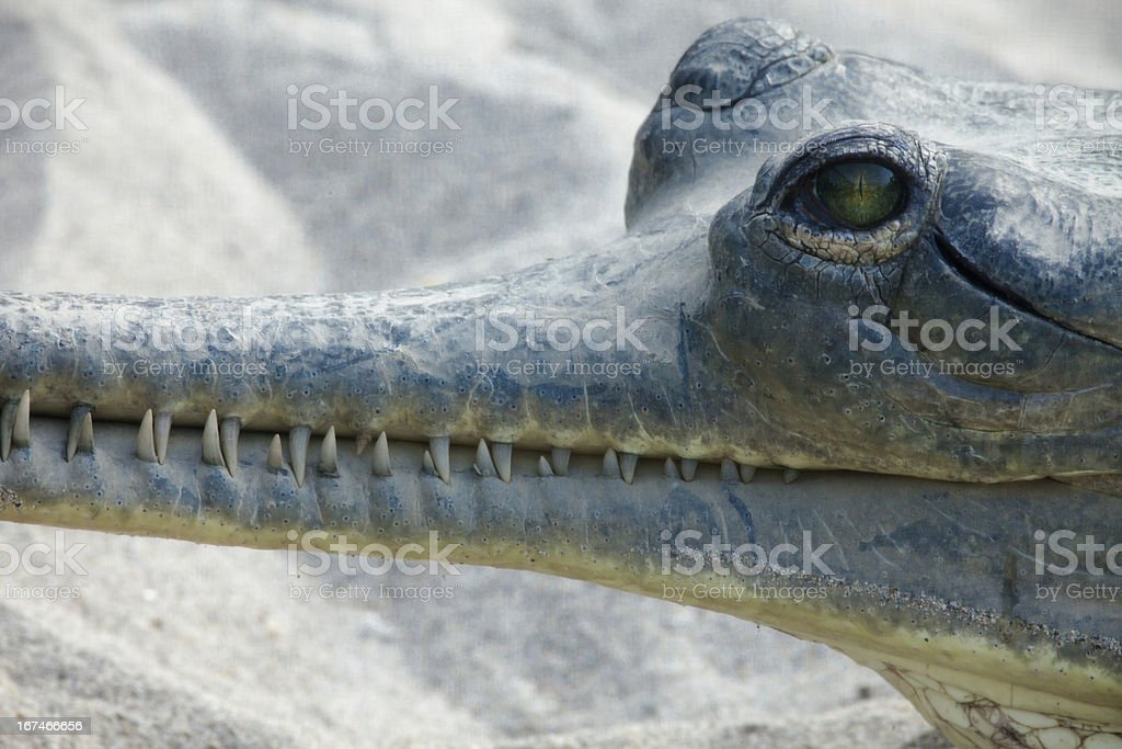 Gavial in Chitwan National Park royalty-free stock photo
