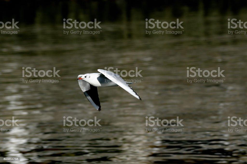 gaviota volando royalty-free stock photo