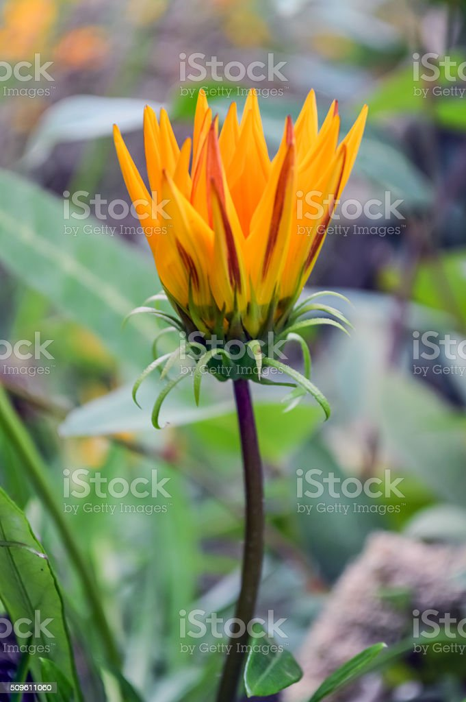 Gazania Bloom stock photo