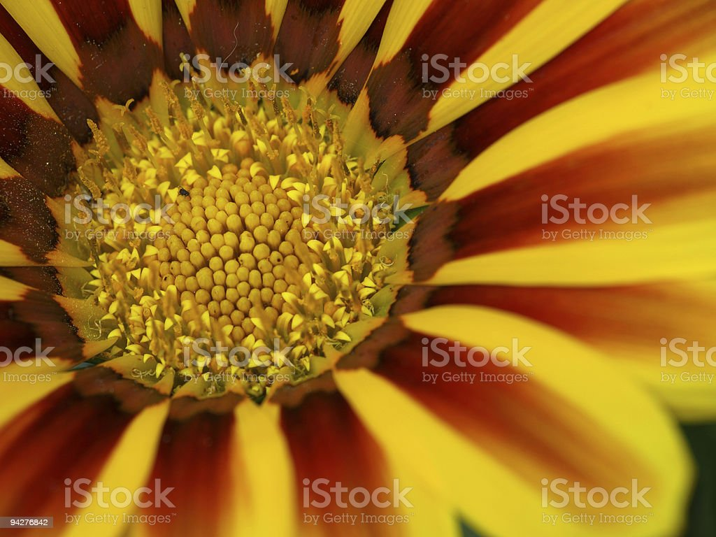 gazania blossom stock photo