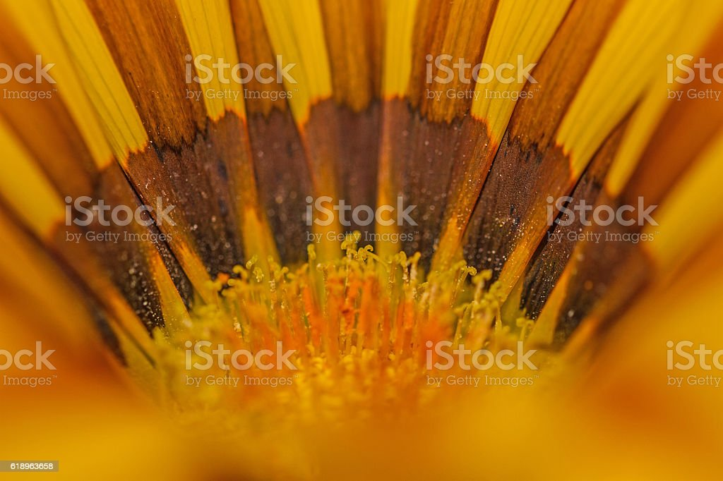 Gazania flower head. stock photo