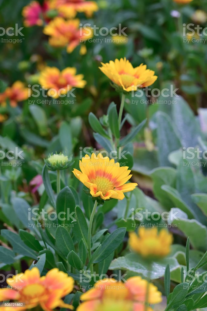 Gazania flower stock photo