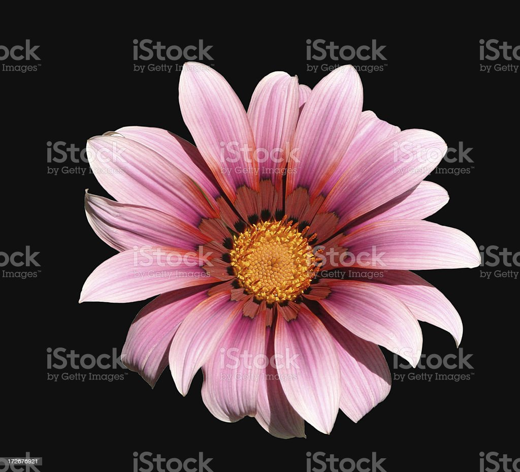 Gazania flower with clipping path stock photo