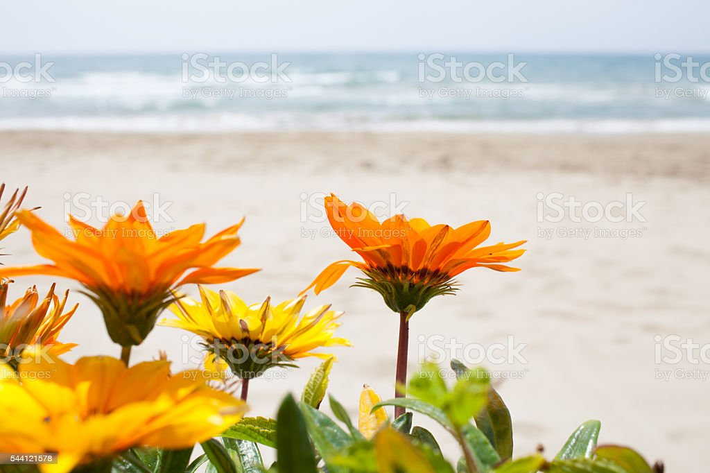 Gazania Flowers Beach Background stock photo