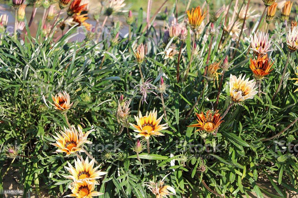 Gazania Hybride blooming in the garten stock photo
