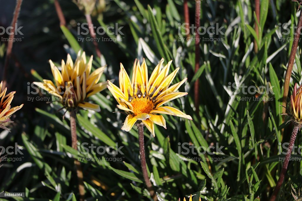 Gazania Hybride 'Magic' Mittagsgold stock photo
