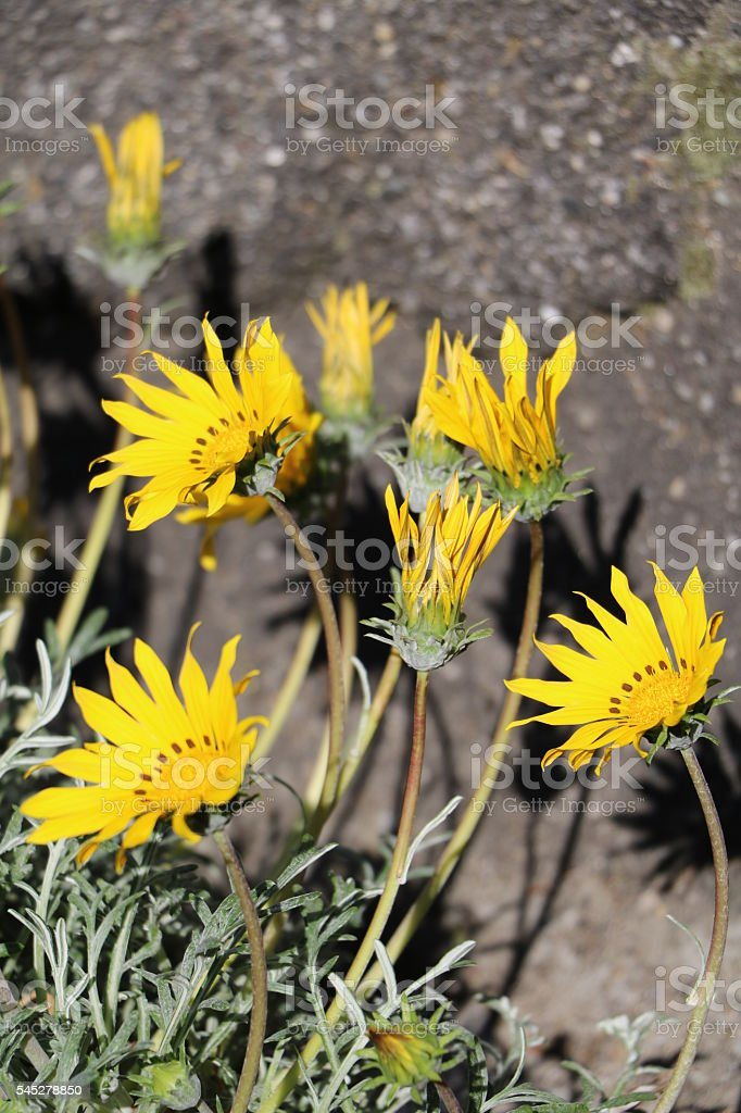 Gazania Hybride Magic Mittagsgold stock photo