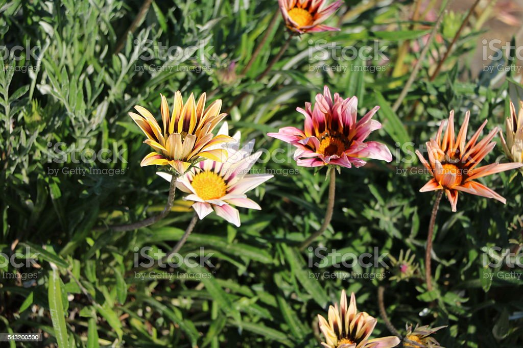 Gazania Hybride Magic stock photo
