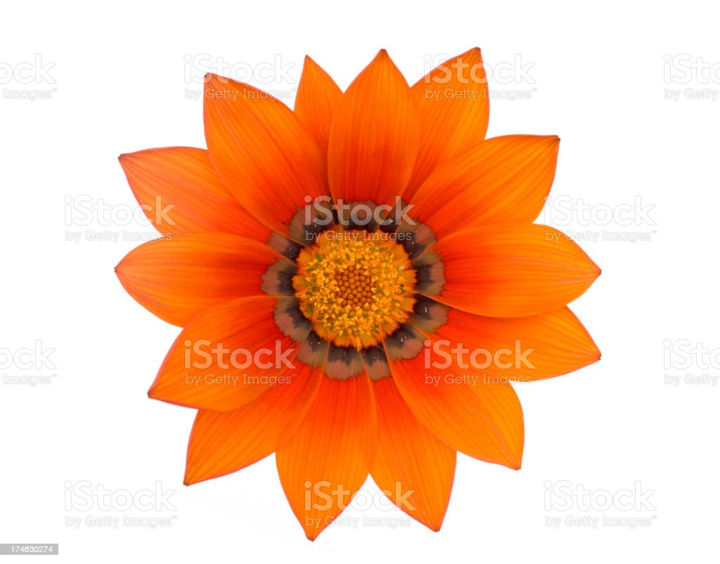 Gazania isolated on white. stock photo