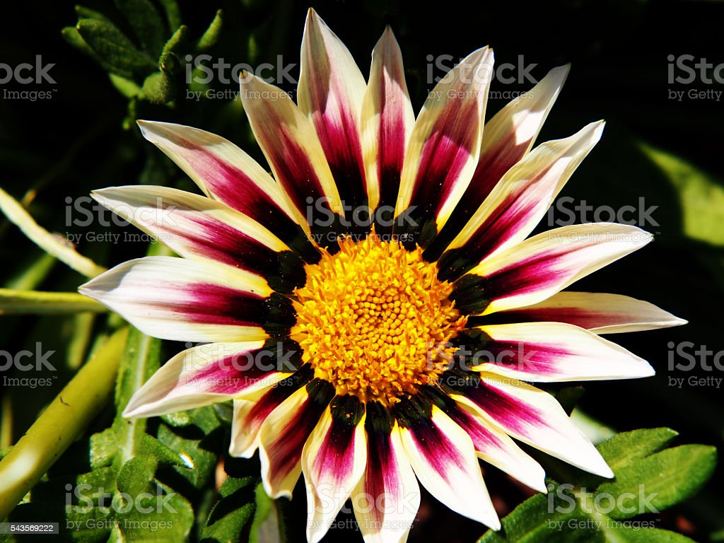Gazania rigens (G. splendens) - treasure flower, coastal gazania stock photo