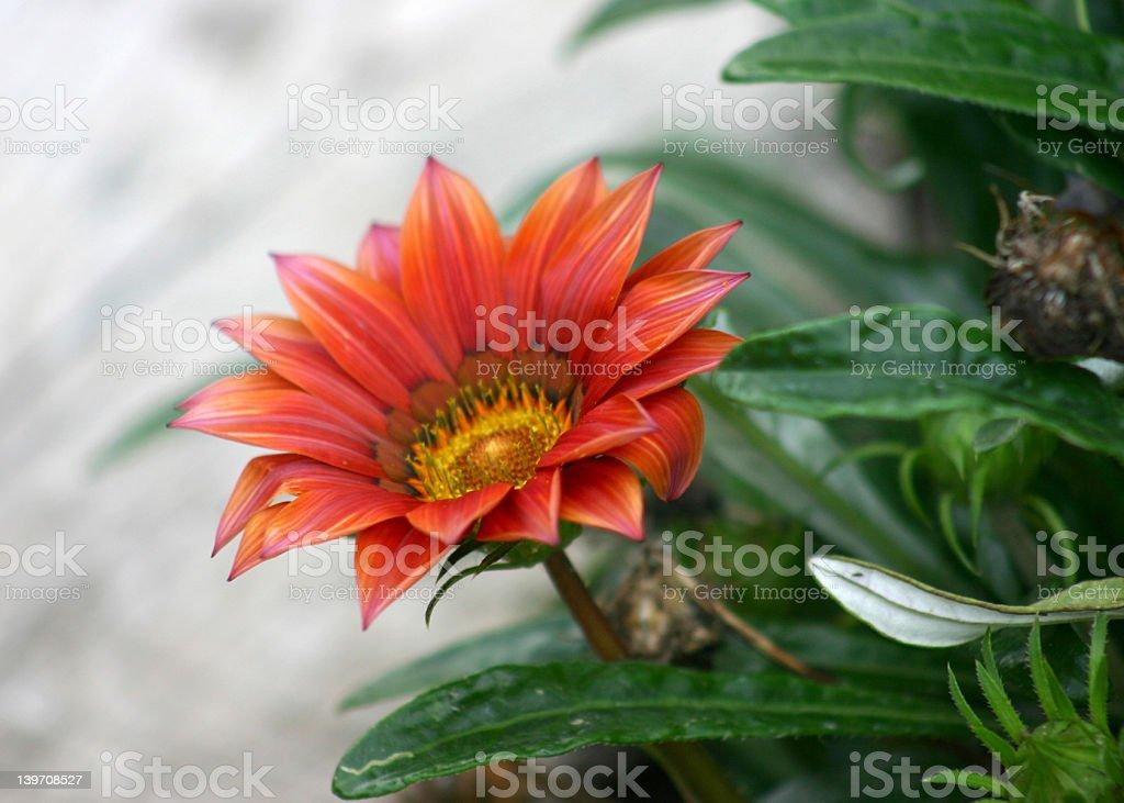 Gazania splendenes close up stock photo
