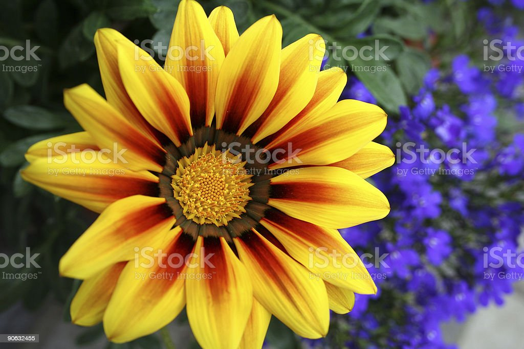 Gazania Splendens stock photo